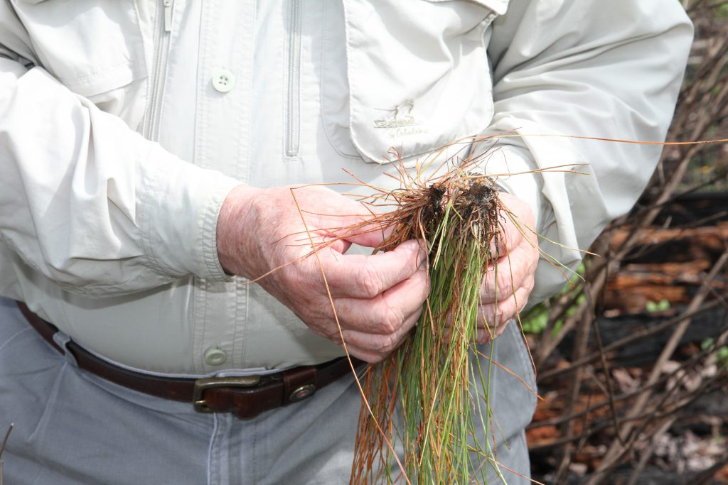 Pig Damage to Longleaf
