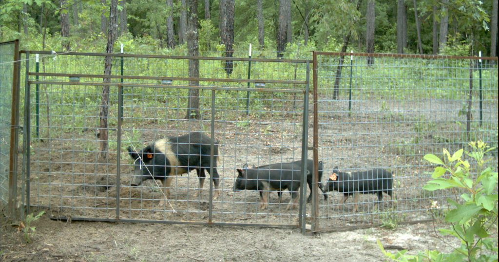 Pigs in Trap